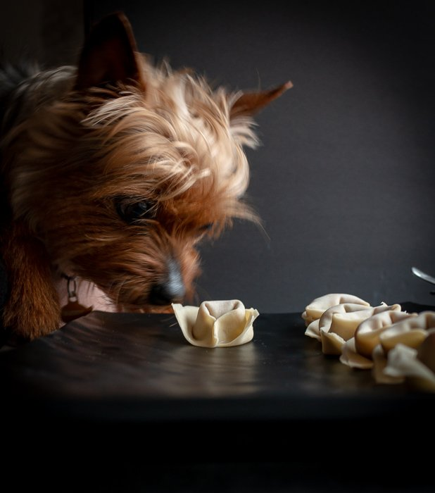 Buddy a little Yorkie dog sniffing an uncooked wonton. He is wondering what they taste like but he will not be getting lucky today.