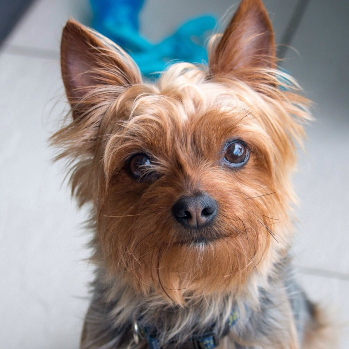 Buddy, our Yorkie dog and professional cleanup crew. He is trying to look cute so that he gets a treat.