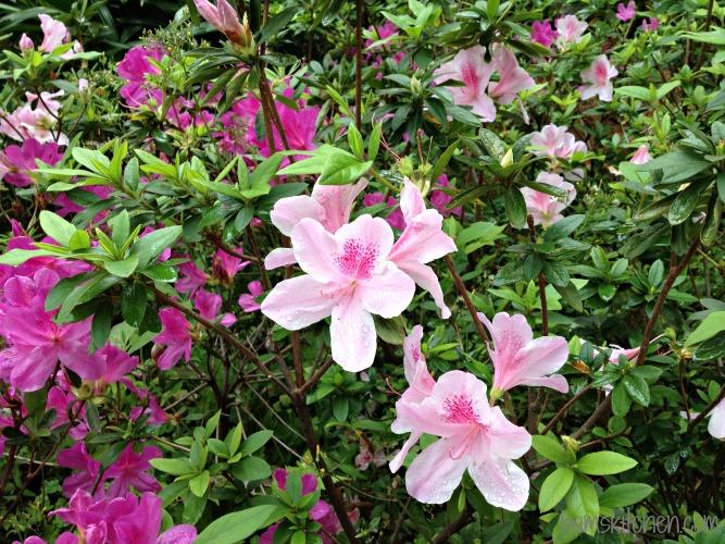 Spring Flowers in HK