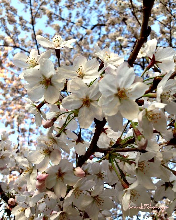 Sakura Cherry Blossoms / http://bamskitchen.com