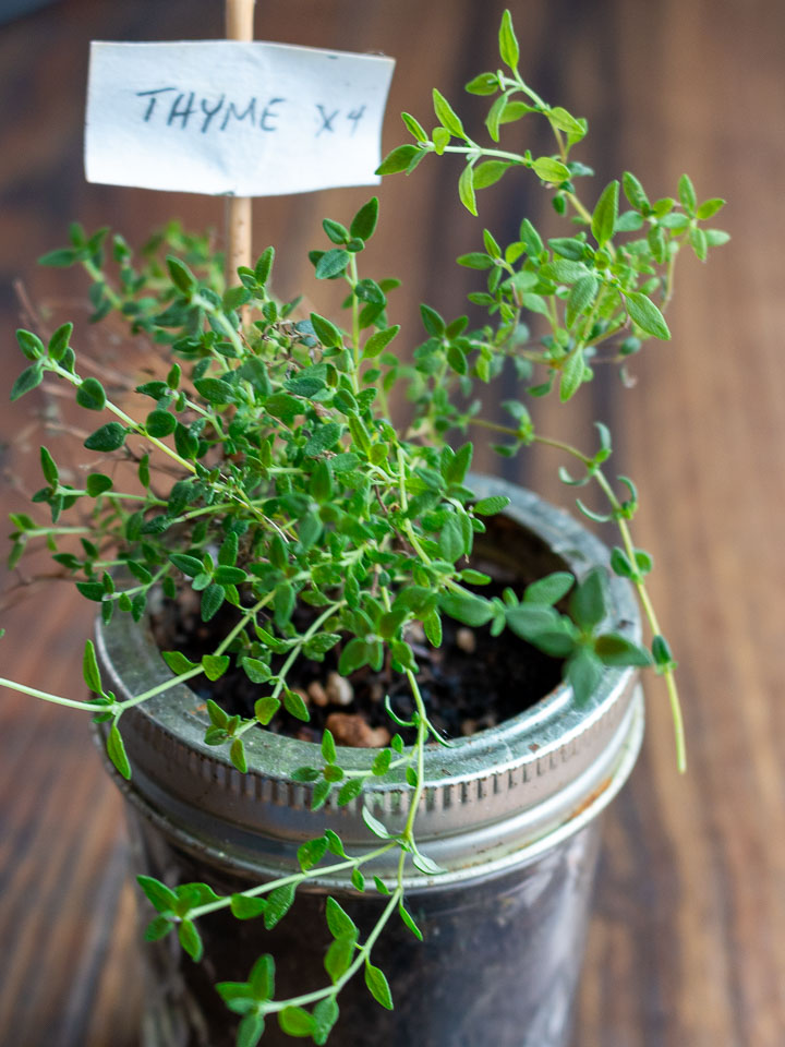little thyme plant in a jam jar.