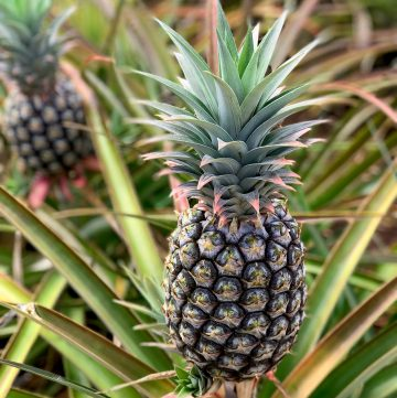 Group of pineapple at the Dole Pineapple plants in Hawaii in the plants.